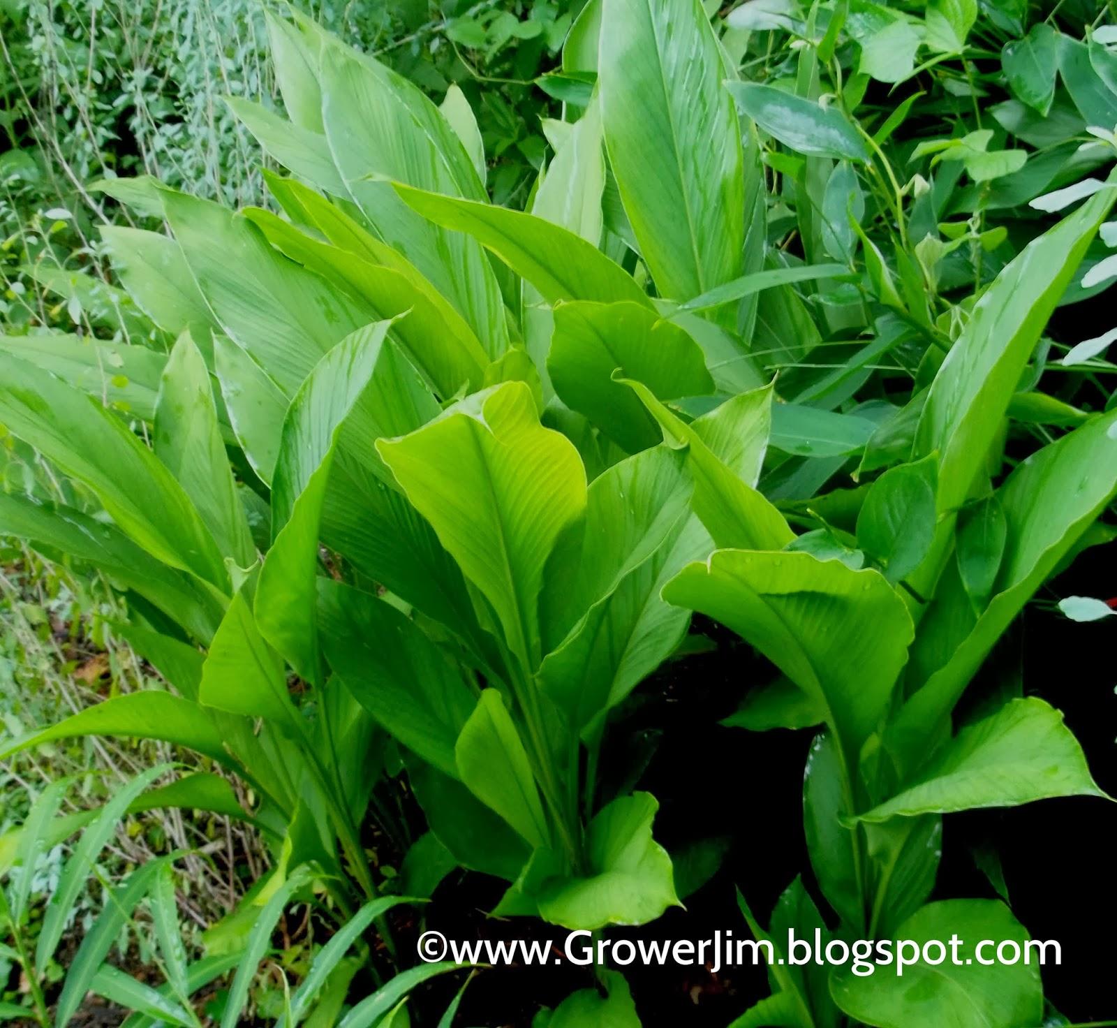 Garden adventures white turmeric curcuma zedoaria - Golden Turmeric Curcuma Longa