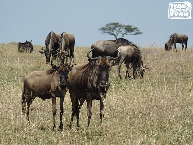 Safari game drive at Maasai Mara National Reserve in Kenya