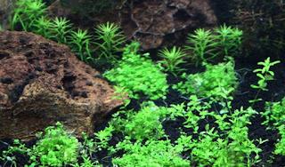 Jenis Tanaman Aquascape Bagus Untuk Akuarium