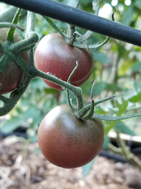 Cherry cola tomatoes, a new variety for me this year. My garden is an experiment, a creative outlet, my happy place. Where is your happy place?