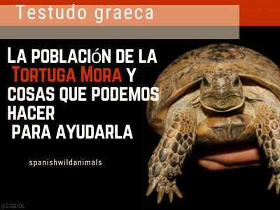Testudo graeca, Tortura Mora, es una de las especies más amenazadas del mundo