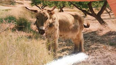 el burro del tío Cándido, Beceite, Beseit, quien no te conozca que te compre