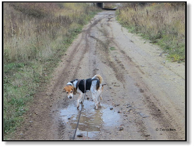 Beagle in der Pfütze