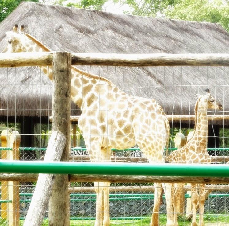 A Casa das Girafas, no Mundo Animal, no Beto Carrero World