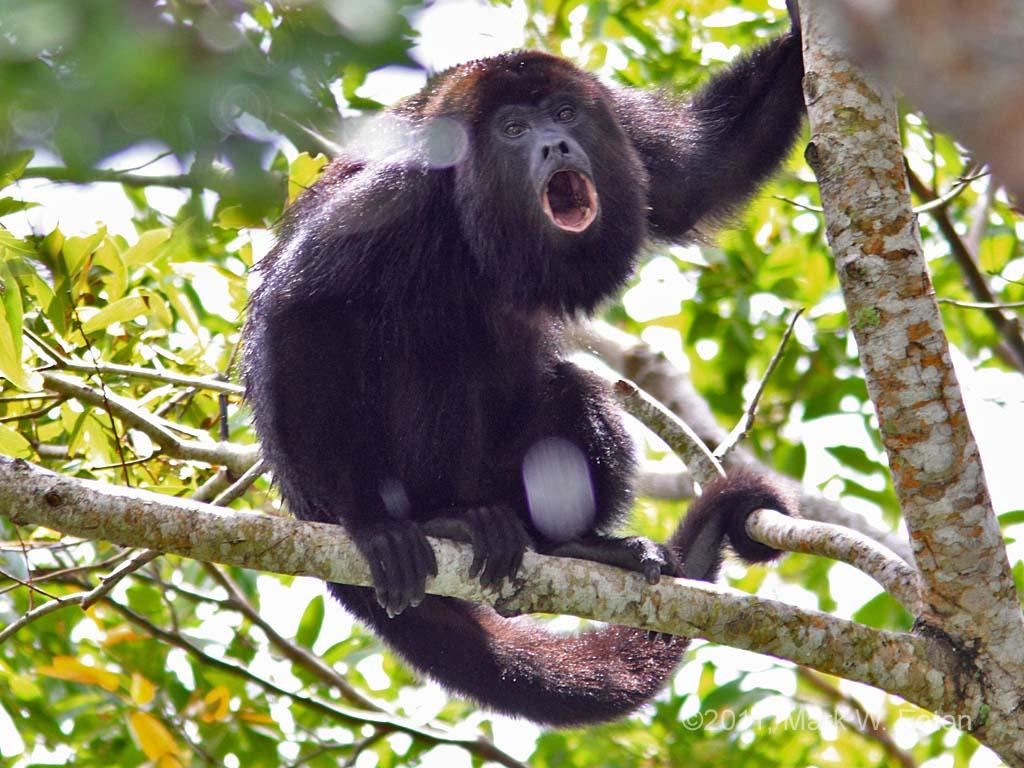 Resultado de imagen para Mono aullador y mono araña