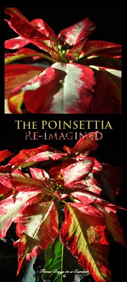 The Poinsettia Re-Imagined