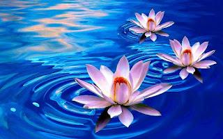 Bunga Teratai Kuncup Sebelum Mekar_Lotus Flower