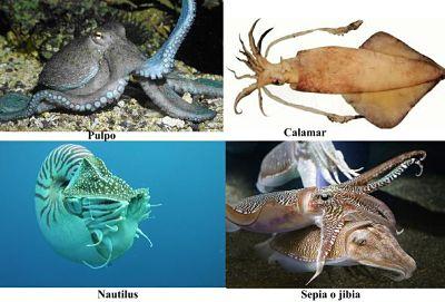 Moluscos cefalópodos. Pulpo, calamar, sepia y nautilo