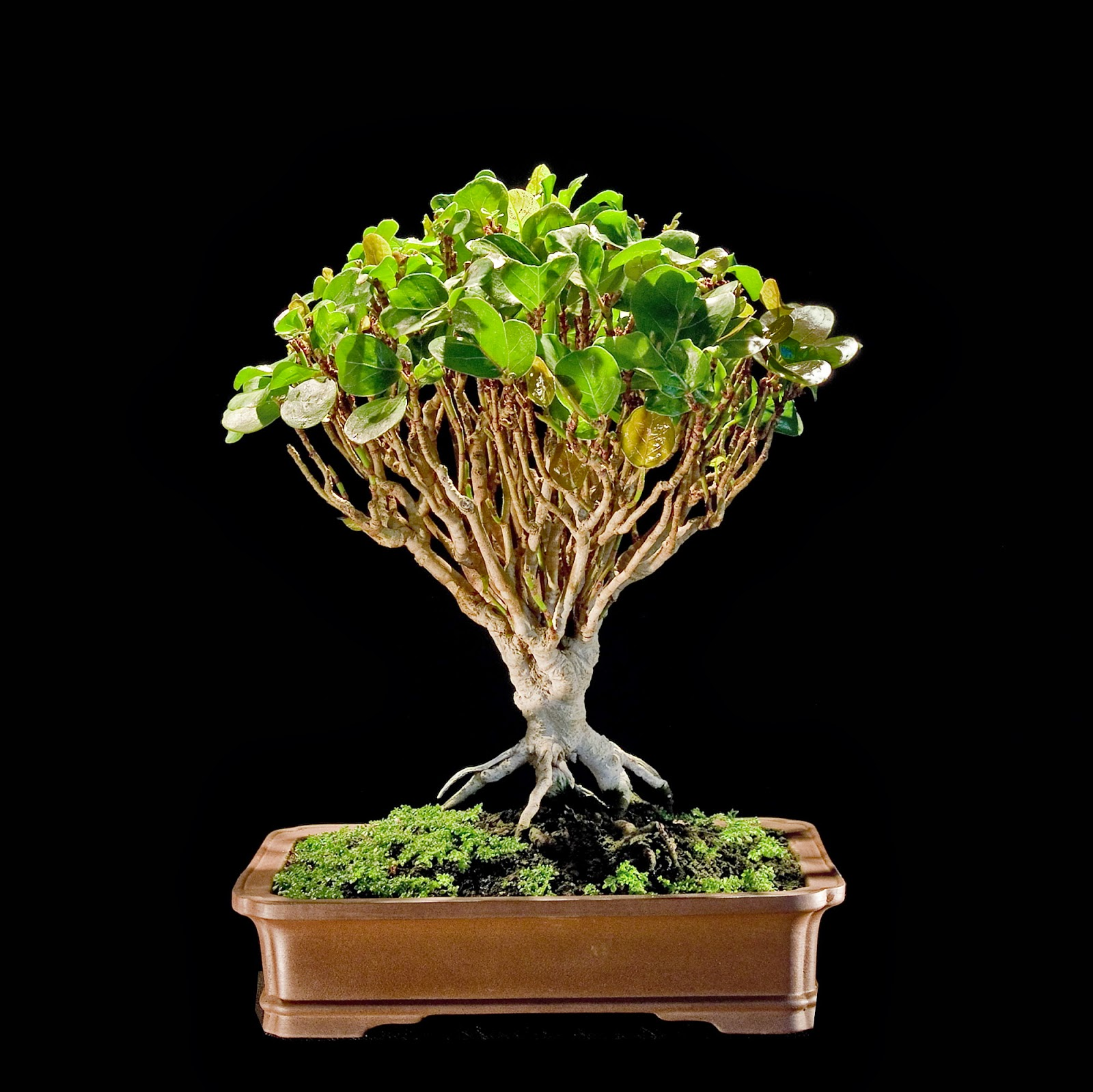 Bonsai Tree 23 Modern Sea Grape Bonsai Ideas