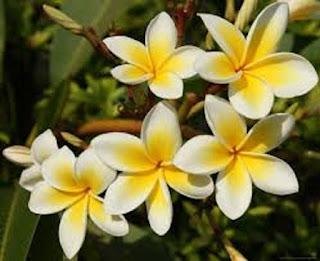 Plumeria Dor Champa - berbagaireviews.com
