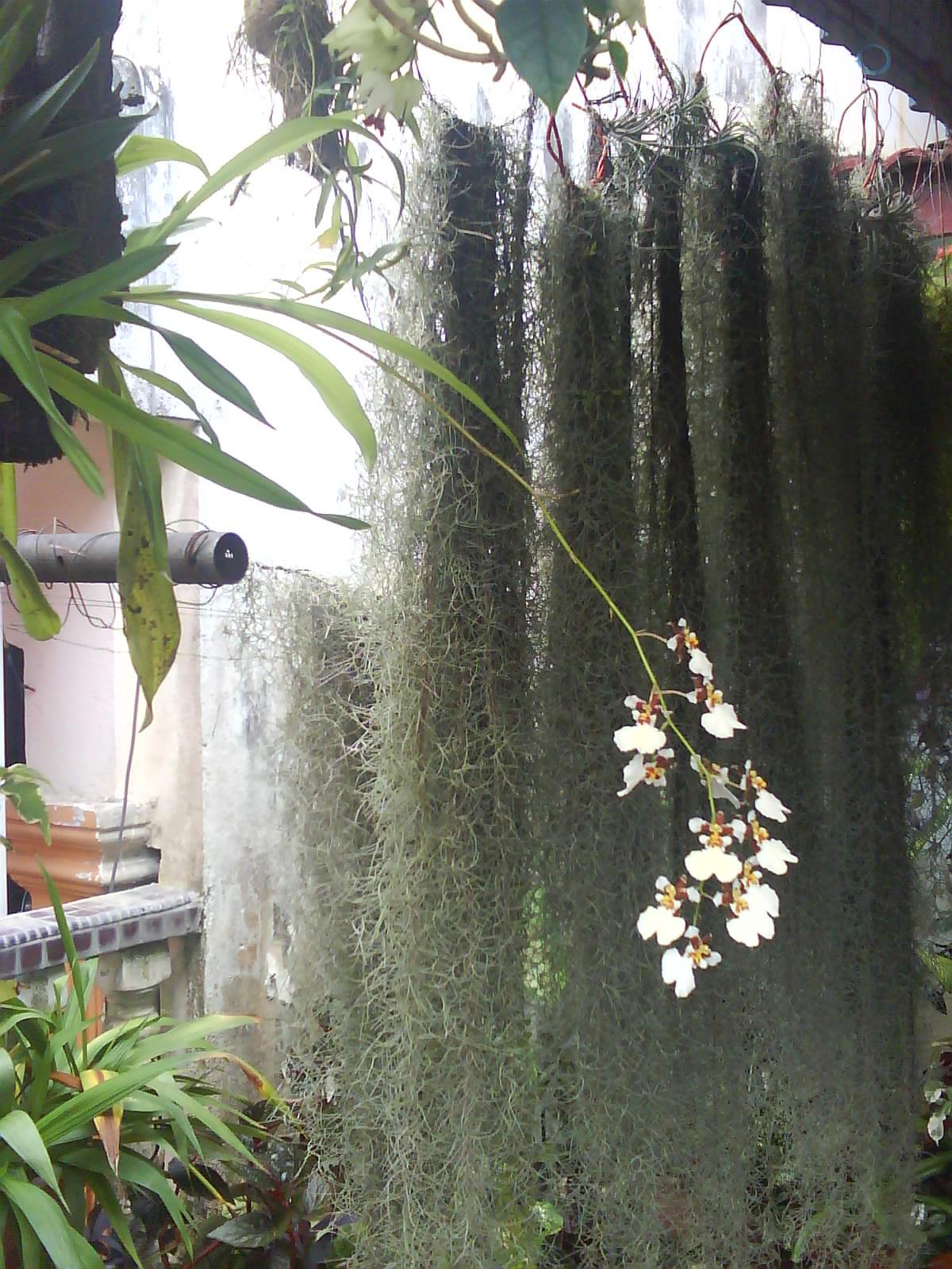 Garden Chronicles Tips To Grow Spanish Moss Updated 2019