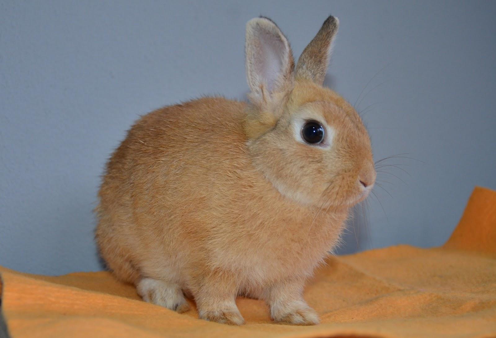 Rabbit Territory: Orange Netherland Dwarf