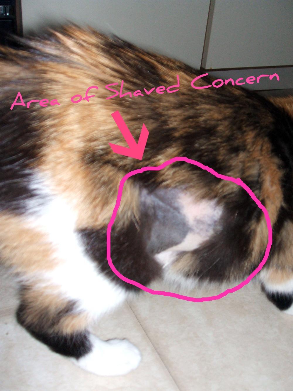cat licks hair off belly