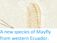http://sciencythoughts.blogspot.co.uk/2012/11/a-new-species-of-mayfly-from-western.html
