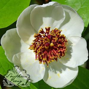 Paeonia obovata var. willmottiae