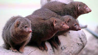 dwarf mongoose pictures