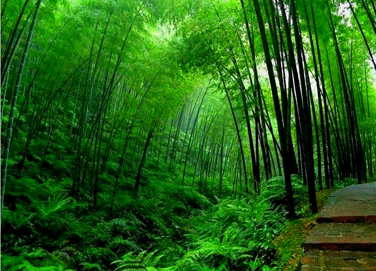 HD Wallpapers: bamboo tree hd wallpapers