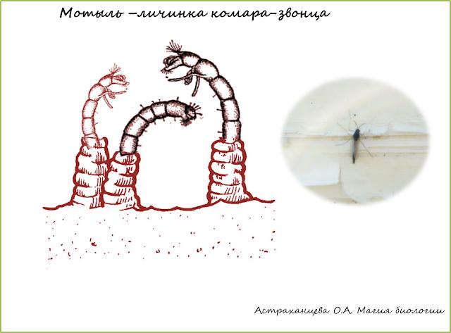 мотыль-личинка  комара звонца