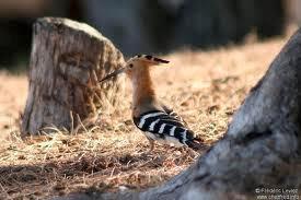 Abudilla de Madagascar Upupa marginata