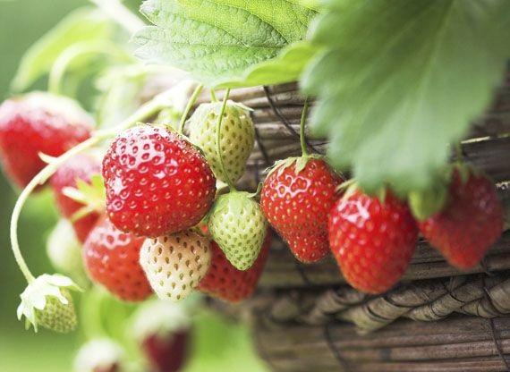 Consejos para cultivar fresas