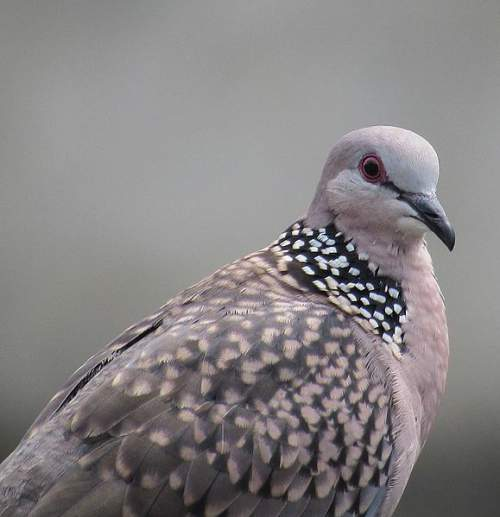Birds of India - Photo of Eastern spotted dove - Spilopelia chinensis