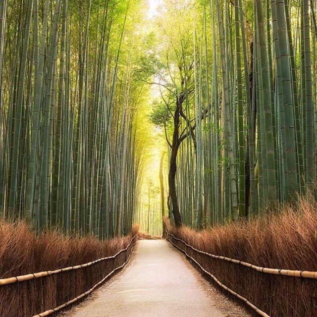 foto keindahan hutan bambu sagano