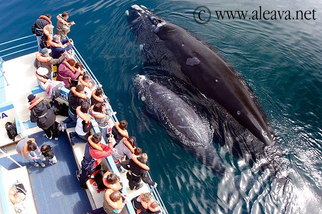 comparativa entre el tamaño de las ballenas y los humanos