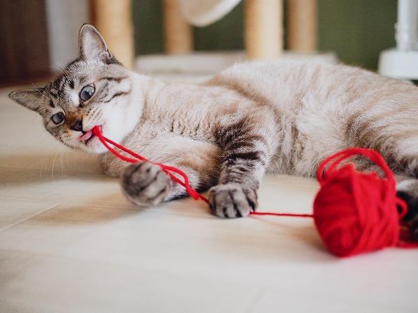 毛糸玉にじゃれて変な顔になってるシャムトラ猫