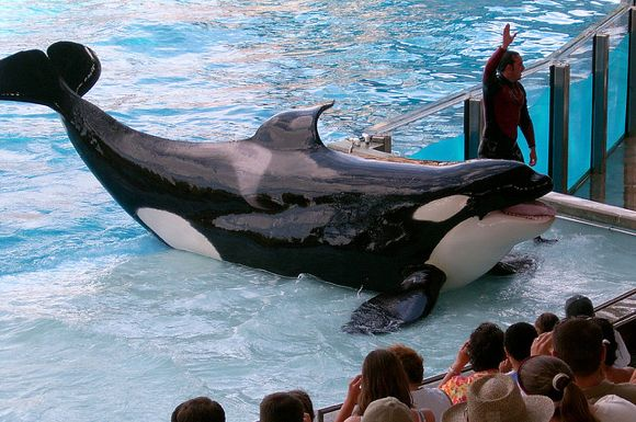 SeaWorld e a questão do show das orcas shamu