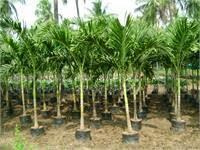 Jual palm putri | supllier tanaman hias | jasa tukang taman