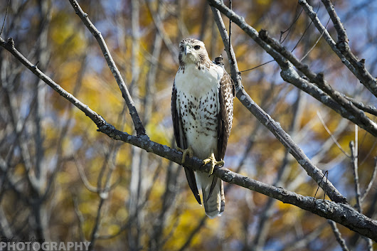 Red-tailed Hawk in The Fall