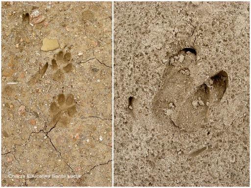 Huellas posiblemente de zorro y de jabalí - Chacra Educativa Santa Lucía