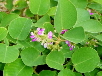 Kim Tiền Thảo thường được dùng để chữa các chứng bệnh như viêm  đường tiết niệu, sỏi tiết niệu, sỏi mật, viêm thận,...