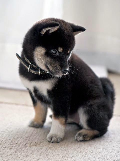 I've never owned a dog.. But I think my husband should agree to get one.. Specifically one that looks like this!