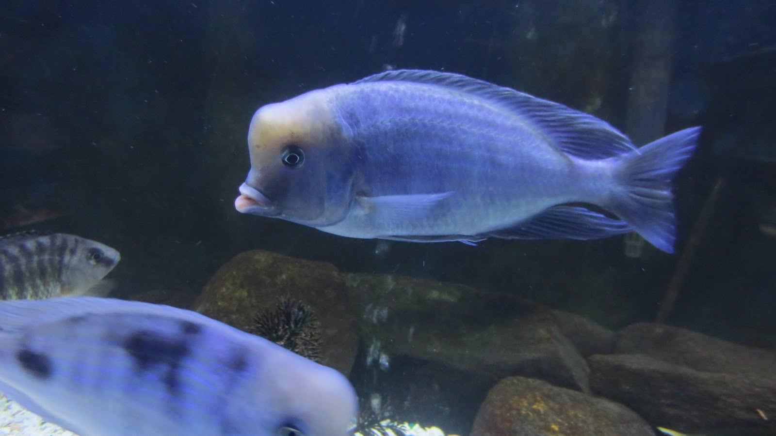 mal/tang fish: Cyrtocara moorii Blue Dolphin, 2-3-13