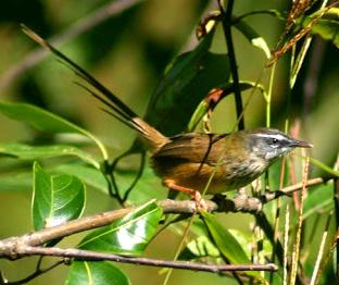 Burung Ciblek Gunung