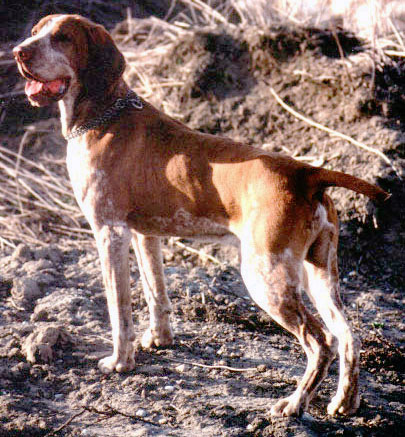 five bracco italiano dogs - photo #7