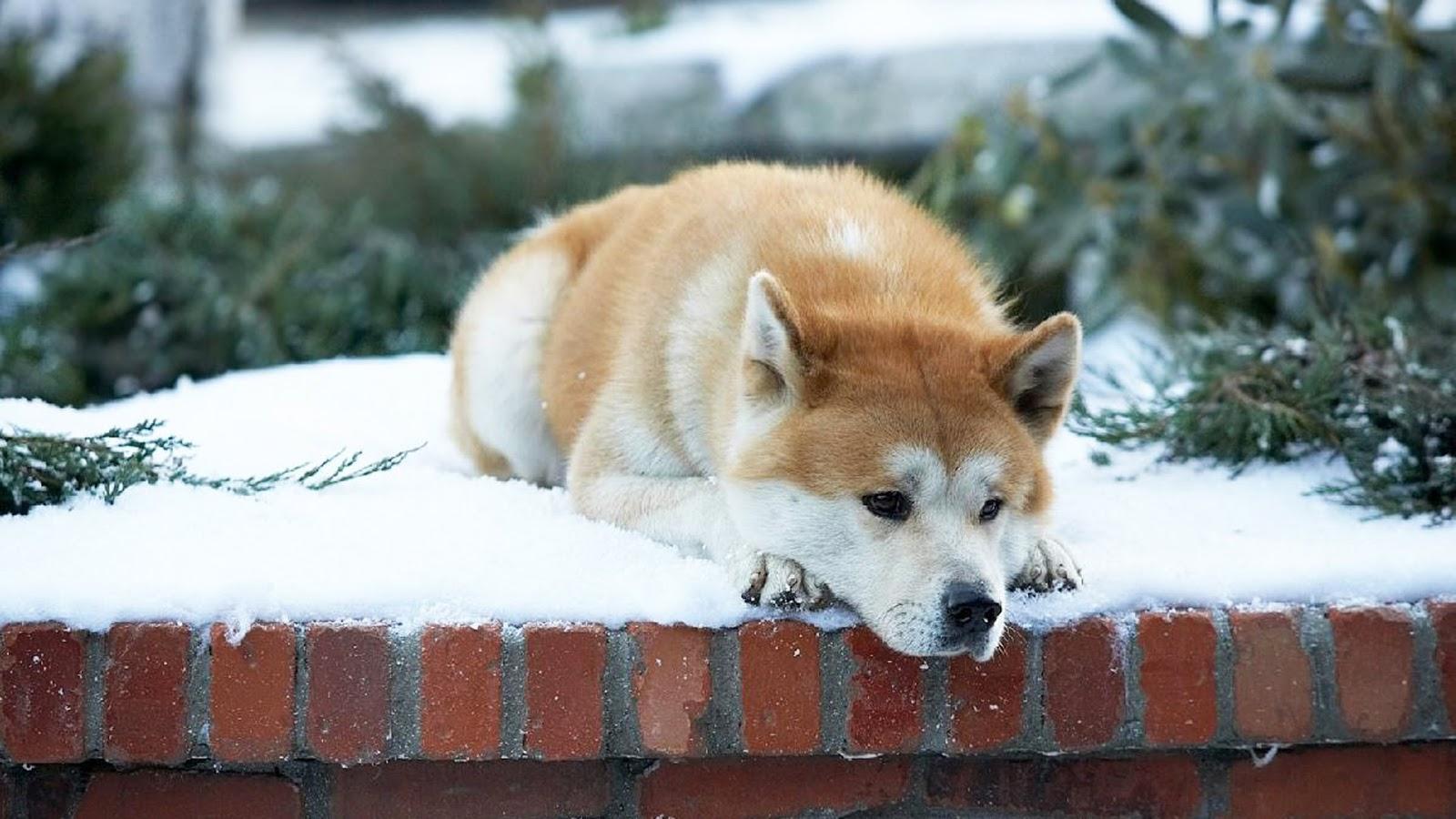 Kisah Menginspirasi Dari Seekor Anjing Yang Bernama Hachiko
