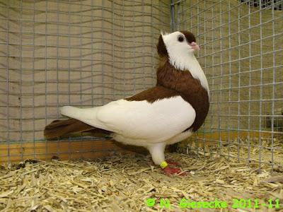 hungarian tumbler pigeons