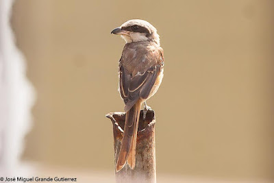 Lanius cristatus - Brown Shrike
