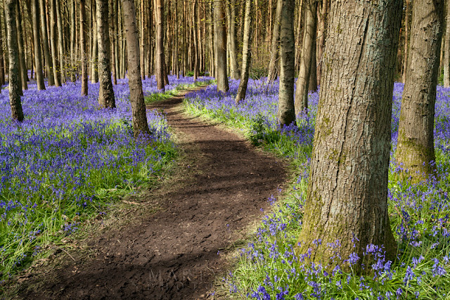 Pathway through the bluebells in Warwickshire By Martyn Ferry Photography