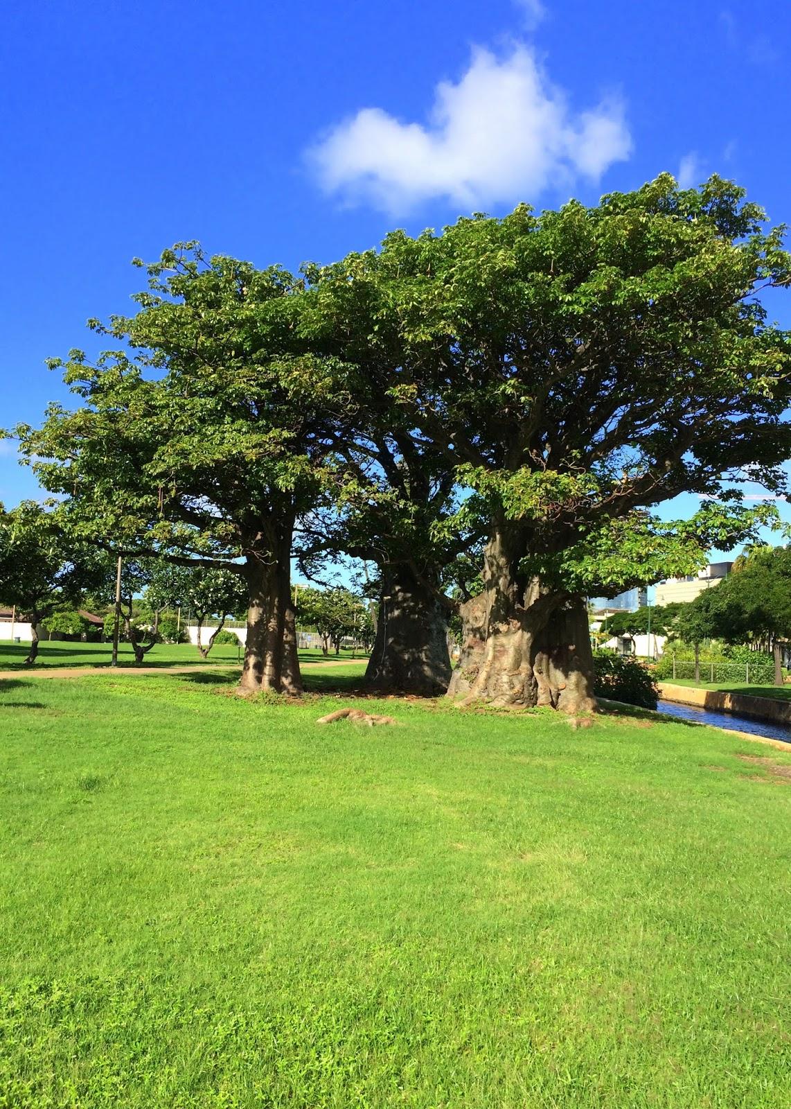 Aloha From Hawaii The Baobab Tree