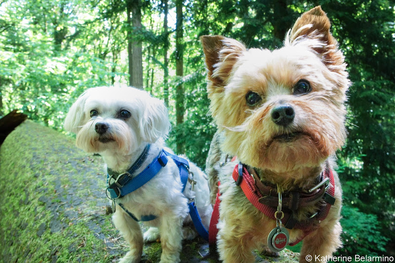 Henry and Charlie in Portland Pet-Friendly Vacations Tips for Traveling with Dogs