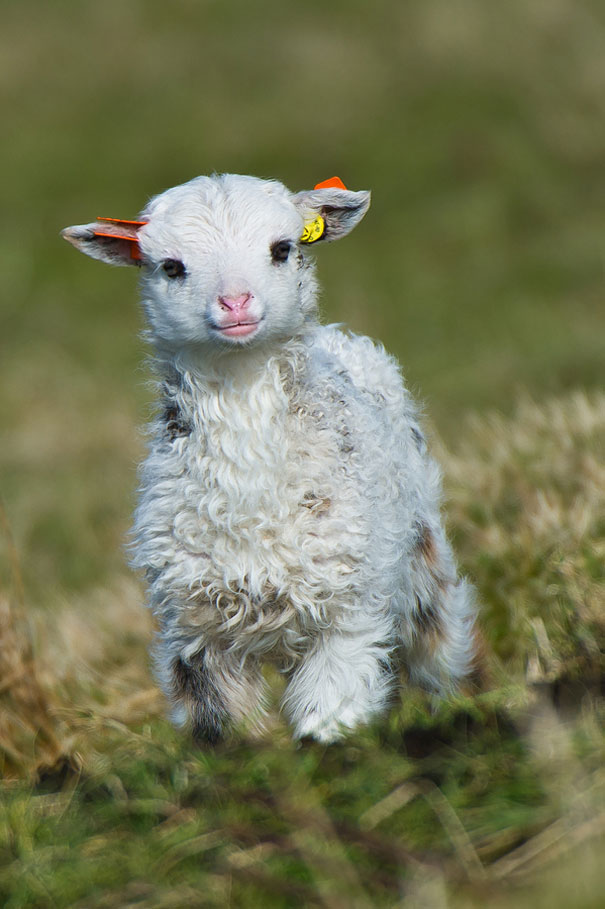 Baby Animals: Lamb
