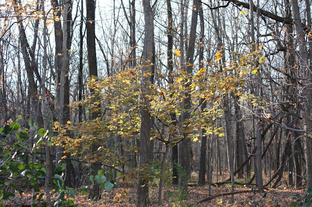 A few fall leaves remain at Busse Woods in Elk Grove Village, IL.
