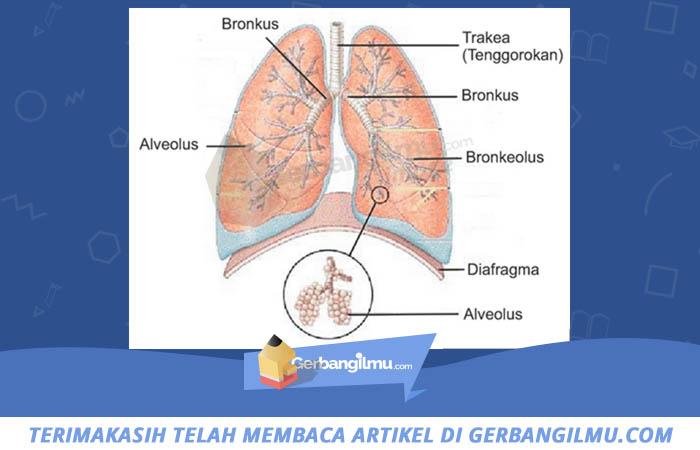 gambar bagian paru-paru
