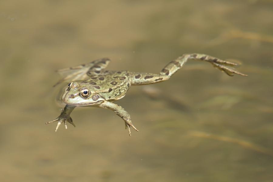 Arabian Skittering Frog – Saleh Al Dahna