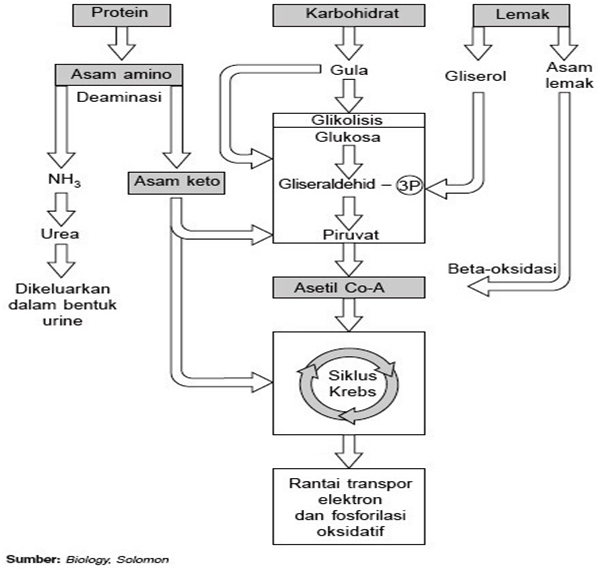 Proses Pencernaan Karbohidrat, Lemak, dan Protein
