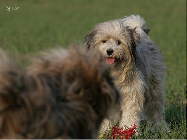 Tibet Terrier Punky ist der Beweis, dass auch Hunde mit ihrer Gesichtsmimik lachen können.