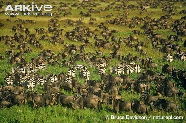 common wildebeest and zebras herd